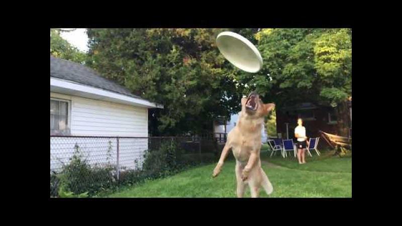 Собачий фейл . собака врезается в камеру. Прикол