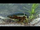 Плавунец окаймлённый Dytiscus marginalis