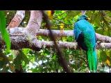 White-tipped Quetzal / Алмазный квезаль / Pharomachrus fulgidus