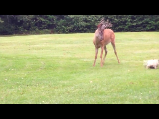 French Bulldog Plays With Young Wild Deer