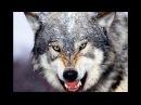 Больше трёх десятков волков истребили в Коми