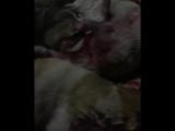 Убийство собак в Дагестана живодерами при поддержки Администрации
