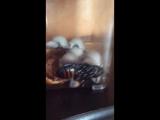 Мадагаскарский таракан в контейнере