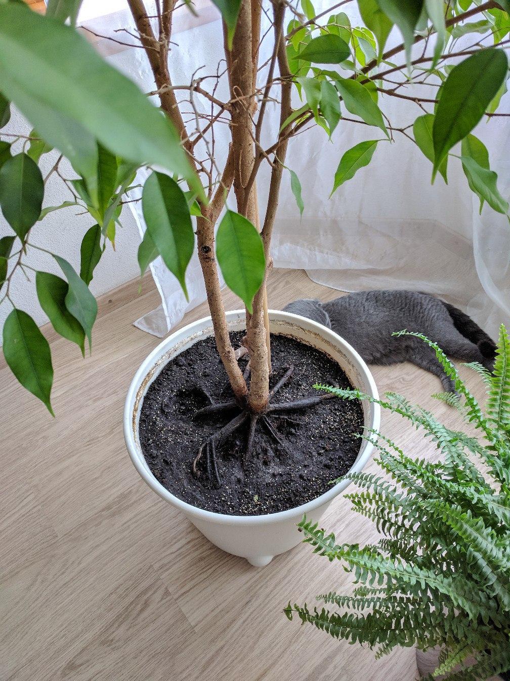 Фикус сбрасывает листья — почему и что делать на примере Фикуса бенджамина
