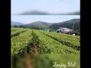 на плантациях краснодарского чая