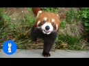 Most Adorable Red Panda - CUTEST Compilation