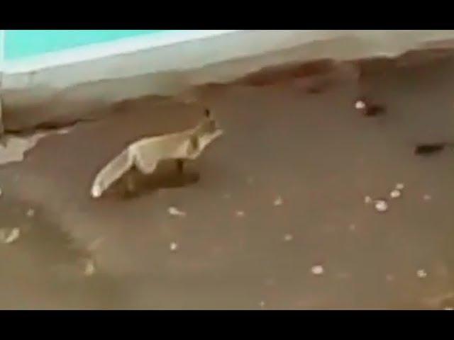 В Альметьевске замечены дикие лисы