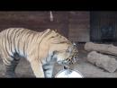 Тигр Бартек дегустирует торт
