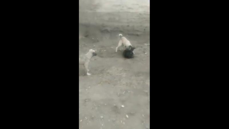 Кангал волкодав напал на другую собаку Kangal attacks another dog