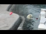 Polar Bear swims.