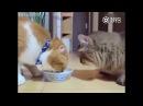 Коты делятся едой друг с другом. Коты едят по очереди из одной миски