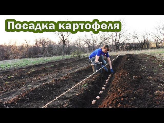 🍅 Посадка картофеля по технологии Гордеевых