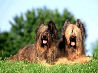 Бриар, все породы собак, 101 dogs. Введение в собаковедение.