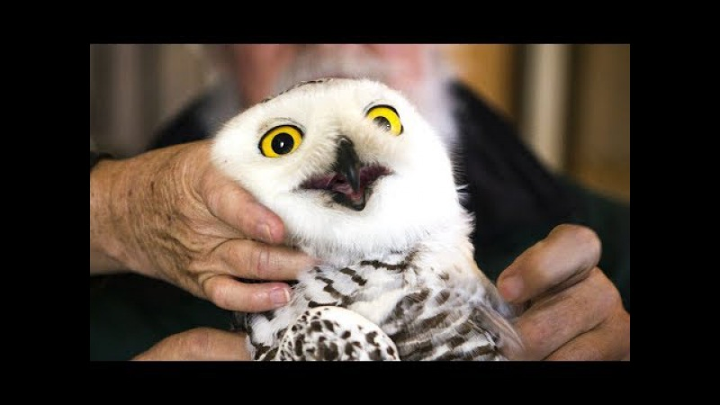 OWLS Are The FUNNIEST AND CUTEST - Funny And Cute Owl Videos 2017