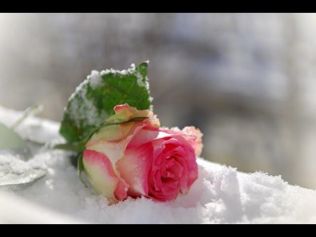 Анжелика Агурбаш Роза на снегу