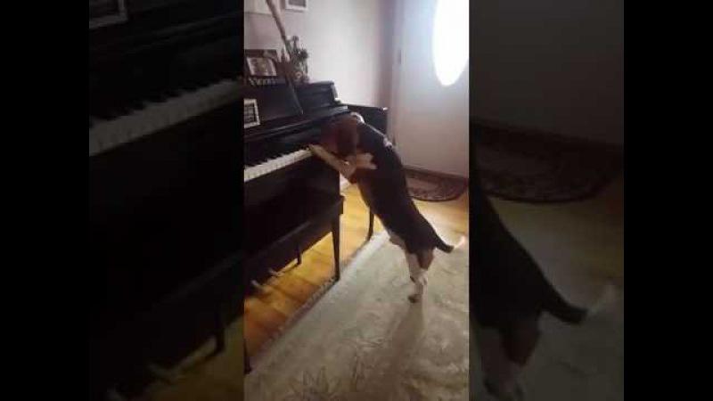 Бигль играет на пианино и поет