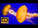The Best Jellyfish Aquarium for Relaxation in 4K - Sleep Relax Meditation Music 2 Hours Screensaver