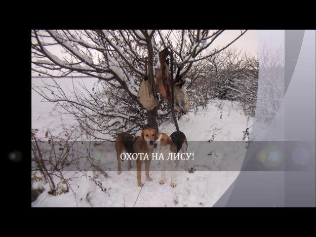 Охота с гончими на лису 2