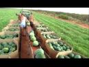 Mellon picking in Australia