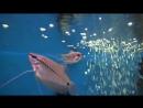 Аквариумные рыбки. Гурами Жемчужный.