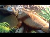 Игуана. Огромная хищная плотоядная ящерица