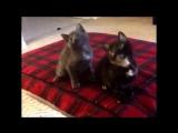 Котята танцуют под музыку