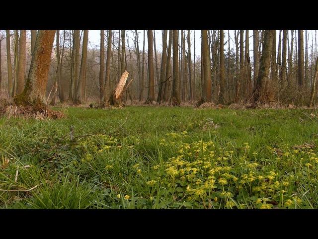 2016.Jarní zpěvy v lese (Словенско) Весняні пташині співи у лісі