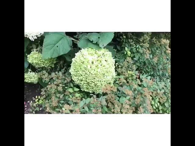 Максим Галкин показал плантации гортензии у себя в саду