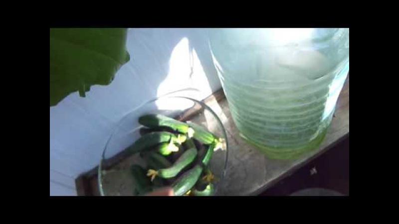 как вырастить огурцы на балконе 5,сбор урожая.