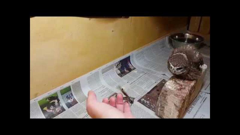 Домовые сычи и мотылёк бражник