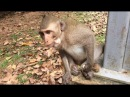 Simple Life of Monkey in Cambodia, monkeys 1063 Tube BBC