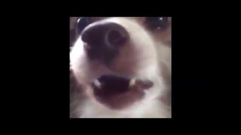Собака говорит: Аф (Ав)