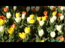 Карен Саркисян. Весенняя мелодия цветов. Тюльпаны, с танцем.