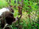 Собака ест крыжовник прямо с куста)