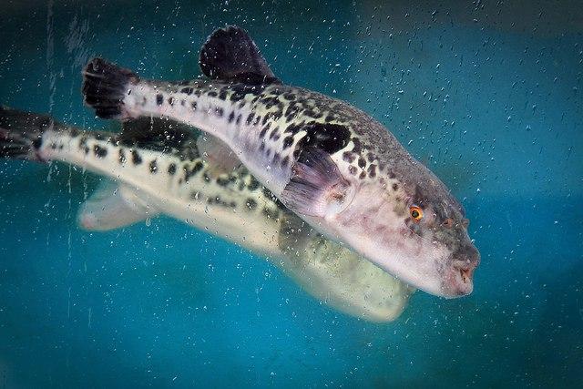 Самая дорогая рыба Фугу