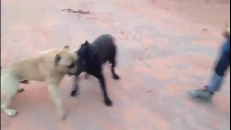 Собачьи бои кане корсо vs канарский дог.480