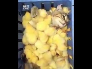 Кот зарылся в кучу цыплят