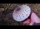 Полезные и лечебные свойства грибов Зонтиков mushroom umbrella
