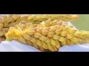 Как действует Сосновая Пыльца и Экстракт Бамбука на организм человека