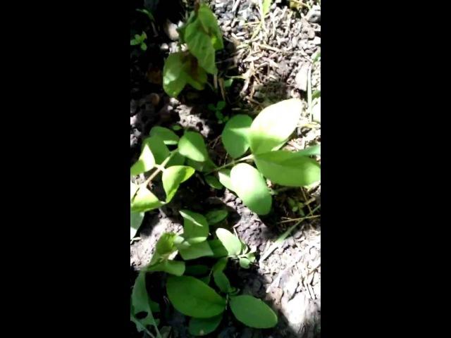Размножение жимолости зеленым черенкованием