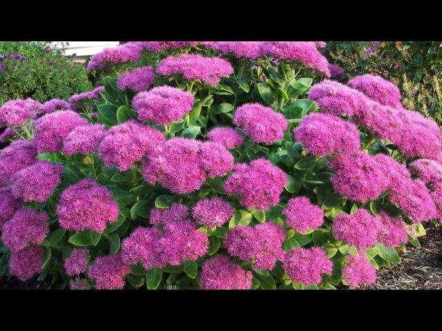 Самые красивые засухоустойчивые многолетники для сада