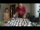 Подготовка гусиных яиц к инкубации Линдовские гуси