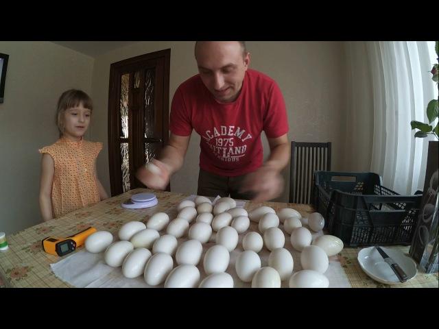 Подготовка гусиных яиц к инкубацииЛиндовские гуси