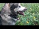 🐾🐱👌 Хаски охота на суслика 🐿✌️ Husky hunting for a gopher