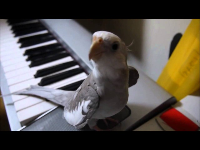 Попугай корелла поет