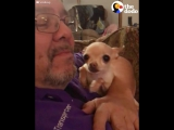 Chihuahua Wants More Kisses - The Dodo