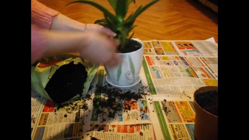 Как ПРАВИЛЬНО пересадить комнатное растение!__Transplanting plants__ Пересадка растений__ ksu66a (1)
