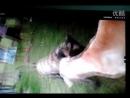 Собачьи бои 18 Булли Кутта китай с очень проблемными зк vs Канарский дог