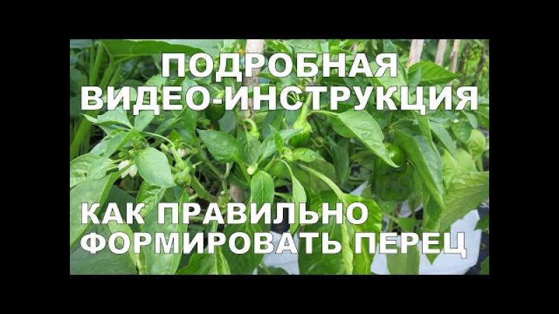 КАК ФОРМИРОВАТЬ ПЕРЕЦ ПОДРОБНАЯ ВИДЕО-ИНСТРУКЦИЯ How to Prune Pepper Plants DETAILED VIDEO GUIDE