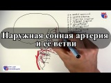 Наружная сонная артерия и ее ветви - meduniver.com